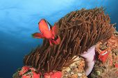 Tomato Anemonefish and Anemone on coral reef