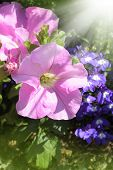 stock photo of lobelia  - Beautiful petunia and lobelia in the garden with beams of sun - JPG