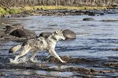 foto of wolf-dog  - Profile image of a timber wolf - JPG