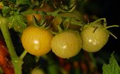 stock photo of threesome  - Threesome of green tomatoes on the plant - JPG