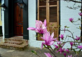 picture of japanese magnolia  - Blooming Japanese magnolias planted