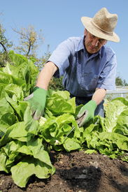 stock photo of early 50s  - A Gardener is harvesting lettuce on his garden - JPG