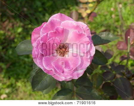 Pink Rose In Nature