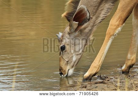 Kudu Antelope - African Wildlife Background - Golden Life and Water