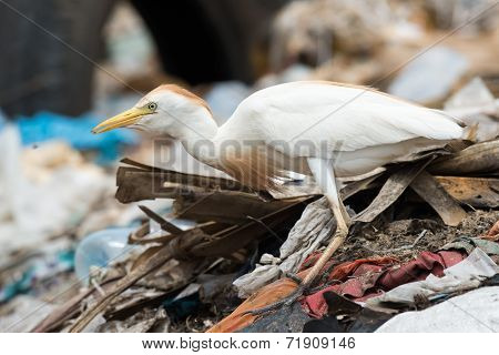 A Cattle Egret (bubulcus Ibis) On A Pile Of Garbage Holding A Maggot