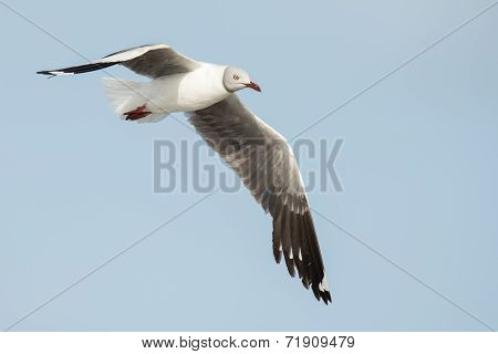 A Grey-headed Gull (larus Cirrocephalus) In Flight