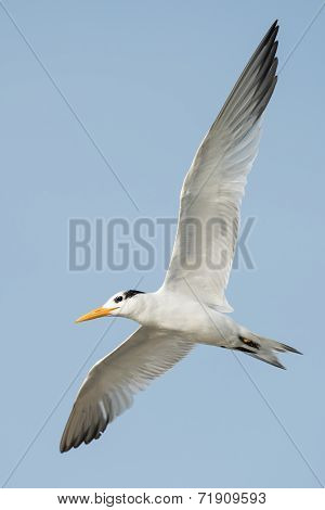 A Royal Tern (thalasseus Maximus) Banking In Flight