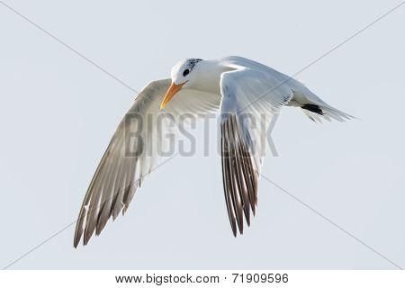 A Royal Tern (thalasseus Maximus) In Flight