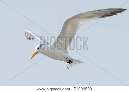 A Royal Tern (thalasseus Maximus) In Flight