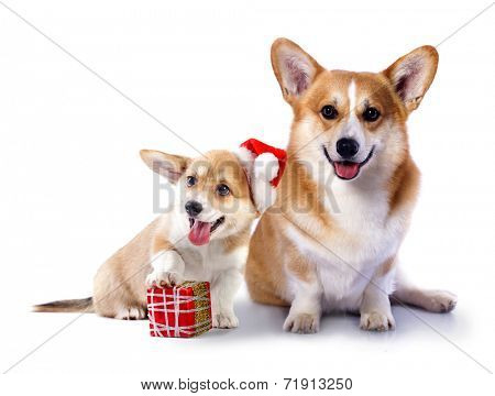 Welsh Corgi Pembroke dog in a Santa Claus hat and present