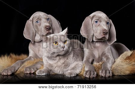 Cocker Spaniel puppy and British cat