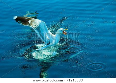 Landing Of Seagull In Water.