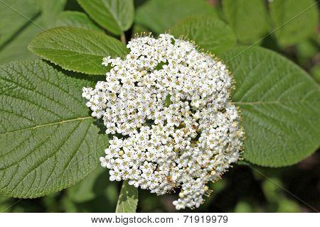 Viburnum Lantana (wayfaring Tree)