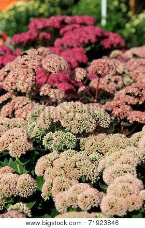 Colorful Fall sedum