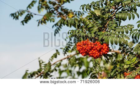 Rowan Berries From Close