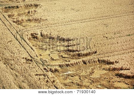 Cornfield from above