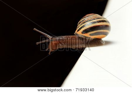cute snail on black and white edge