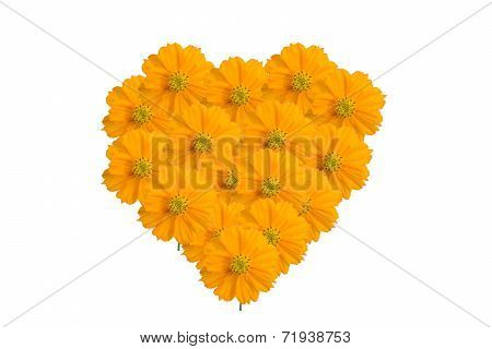 Yellow Cosmos heart  flower isolate on white background