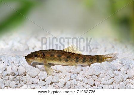 Chinese Algae Eater Catfish Gyrinocheilus aymonieri