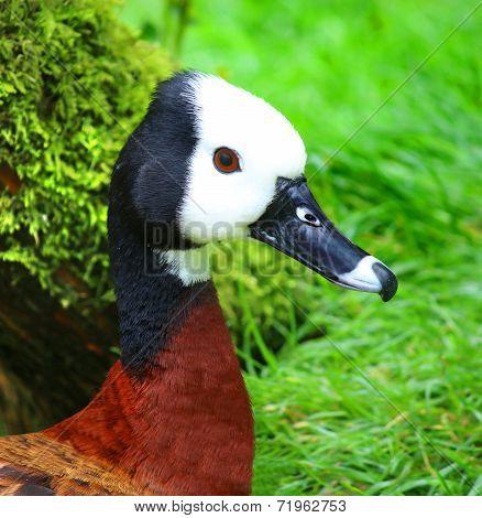 White Faced Whistling Duck Dendrocygna viduata White-Faced