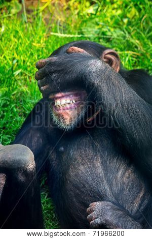 Chimpanzee laughing on the grass
