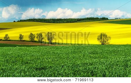 Corn and rapeseed fields in spring