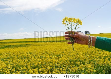 Hand Raised On Spring Field Of Rape Yellow Flowers