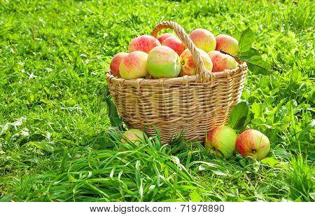 Crop Of Red Juicy Apples In A Baskets