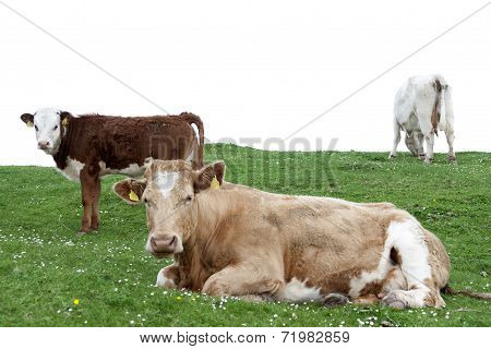 Cattle Feeding On The Lush Green Grass