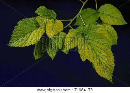 Young bramble leaves on dark blue background