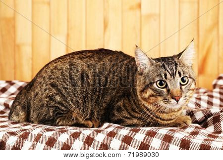 Grey cat on blanket on wooden wall background