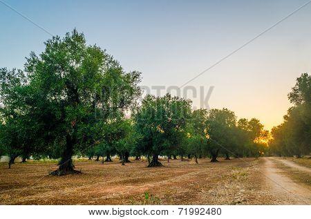 Puglia, olive trees
