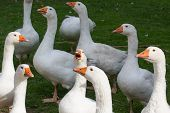 picture of baby goose  - Big white gooses crying in the garden