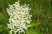 picture of elderflower  - Elderflower on green background in the wind - JPG