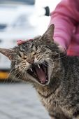 picture of mew  - Beautiful cat when she is screaming and yawning - JPG