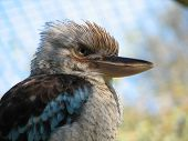 picture of blue winged kookaburra  - blue winged kookaburra - JPG