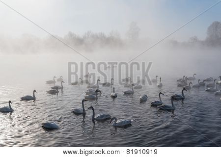 Swan Lake Fog Winter Birds