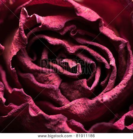 Macro shot of dried rose