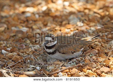 Nesting Killdeer, Charadrius Vociferus