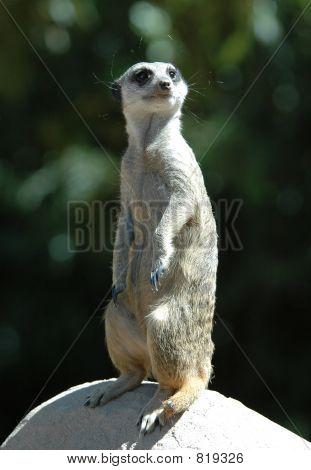 Meerkat on a Rock