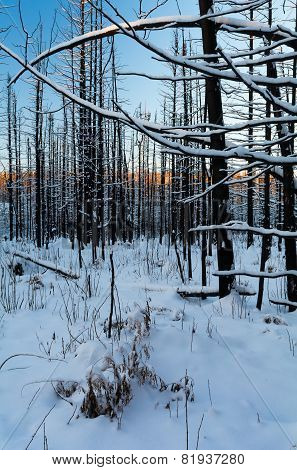Burned Forest Under Snow