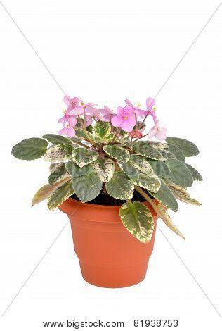 Violets Or Saintpaulia Flowers In Flowerpot