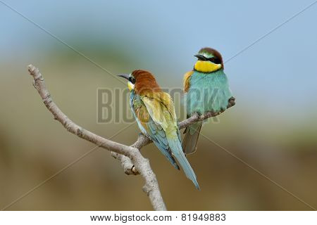 European Bee-eater (merops Apiaster) Alighted On A Branch, Close-up