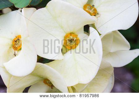 White Euphorbia Milii