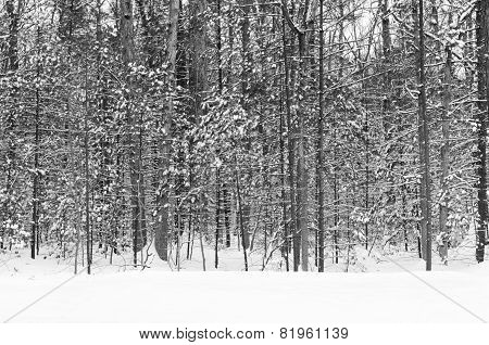Wintry Landscape of Forest