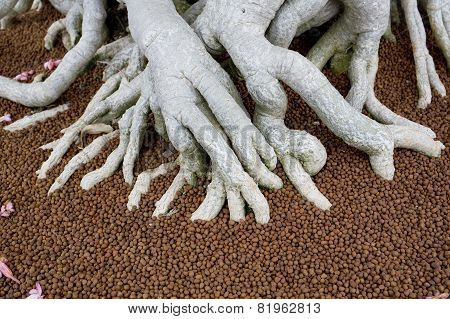 The Big Roots In Fertiliser Of Bonsai Tree