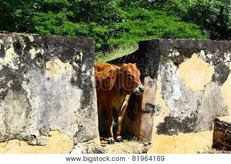 Cow in Sri Lanka