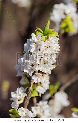 White Blooming Daphne