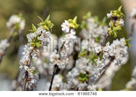 Daphne Branches