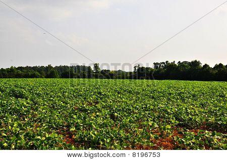 Soja-Bohnen-Feld